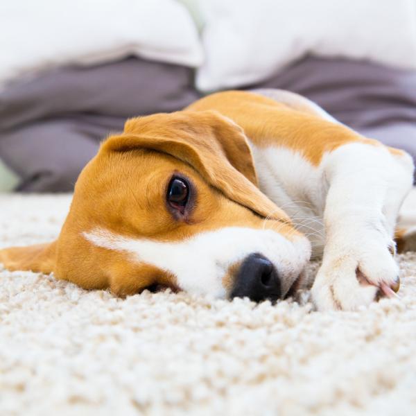 Σκυλί ξαπλώνει πάνω σε Χαλί